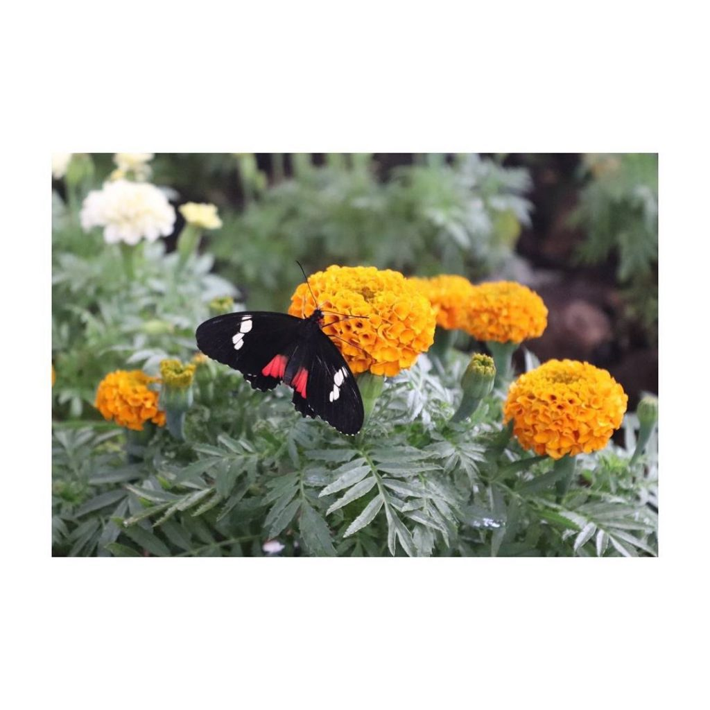 Freelancing - Butterfly Sucking Nectar Dubai Butterfly Garden